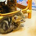 20081214-虎斑小貓三兄弟-10.JPG