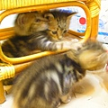 20081214-虎斑小貓三兄弟-11.JPG