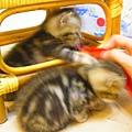20081214-虎斑小貓三兄弟-12.JPG