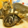 20081214-虎斑小貓三兄弟-13.JPG