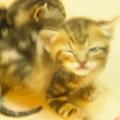 20081214-虎斑小貓三兄弟-16.JPG