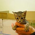 20081214-虎斑小貓三兄弟-18.JPG