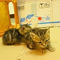 20081214-虎斑小貓三兄弟-19.JPG