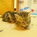 20081214-虎斑小貓三兄弟-22.JPG