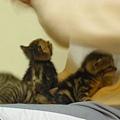 20081214-虎斑小貓三兄弟-23.JPG