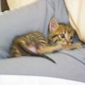 20081214-虎斑小貓三兄弟-24.JPG