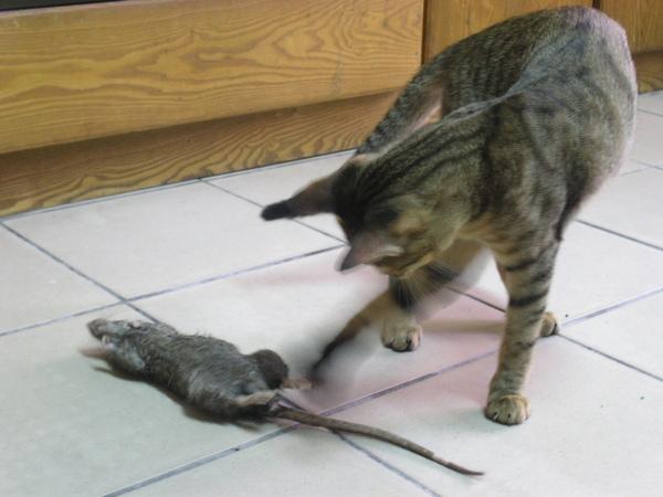 20090529-01-玩老鼠的小虎-02.JPG