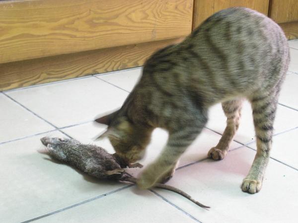 20090529-01-玩老鼠的小虎-03.JPG