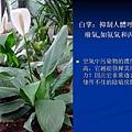 家庭常見植物的功效 (4).JPG