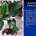 家庭常見植物的功效 (12).JPG