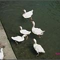 美珊拍的鴨子