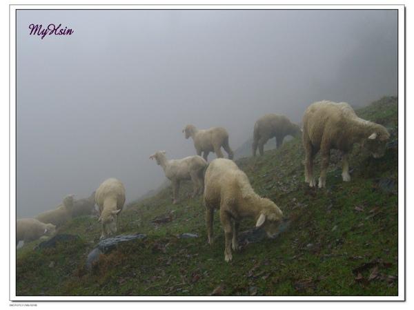 羊兒不畏風雨,全跑出來覓食