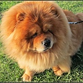 好可愛的獅子狗呀!!!