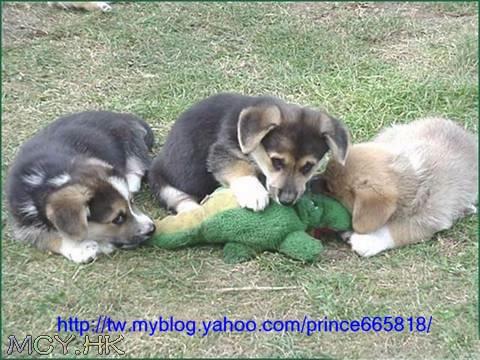 狗群吃鱷魚
