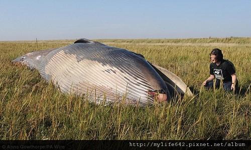 英國神秘巨大鯨屍 距離海岸700公尺