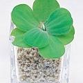 水生植物3