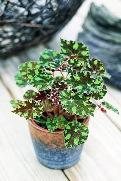虎斑秋海棠盆栽
