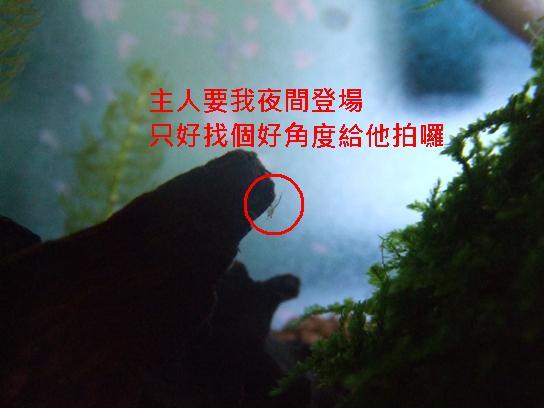 夜拍出生的小蝦米.JPG