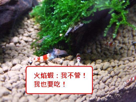 火焰蝦vs小丑.JPG