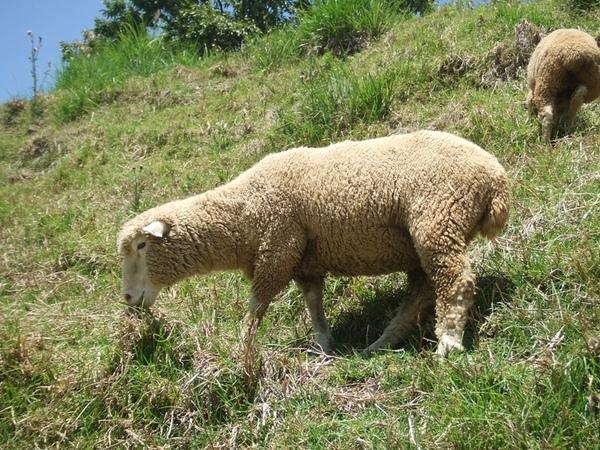 11綿羊.jpg