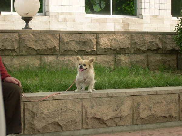 路上的北京狗