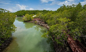 Phuket-BangRong_mangroves_02-300x180