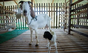 Phuket-Maneerat-Goat-Farm_02-300x180