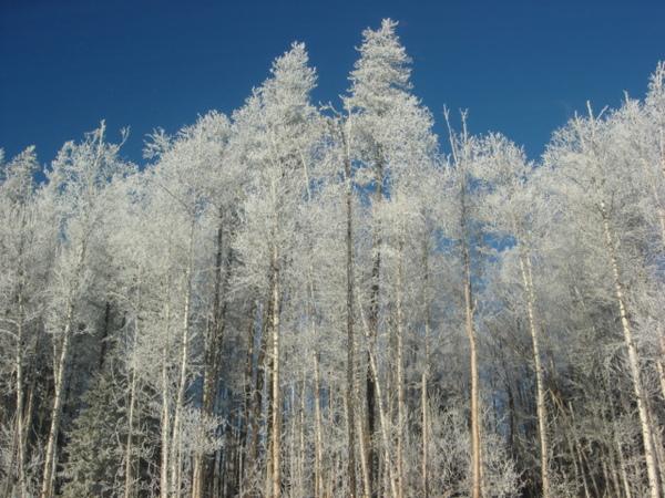white trees - 1