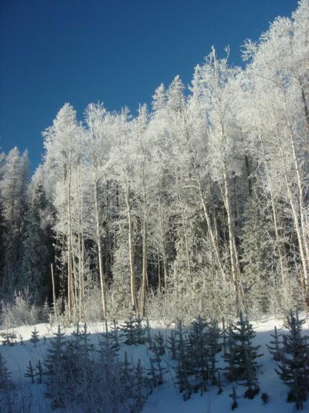 white trees - 2