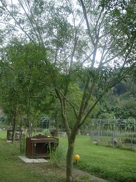光蠟樹3.JPG