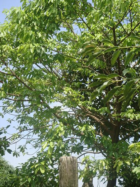 茄苳樹.JPG