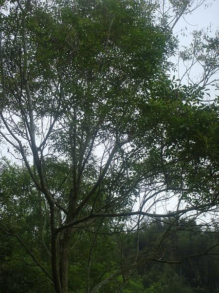 光蠟樹2.JPG