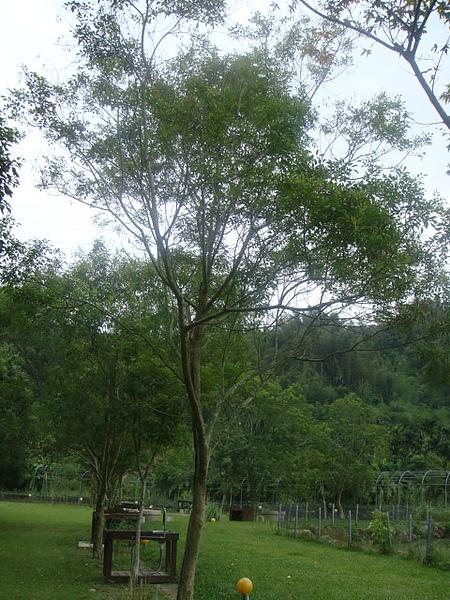 光蠟樹.JPG