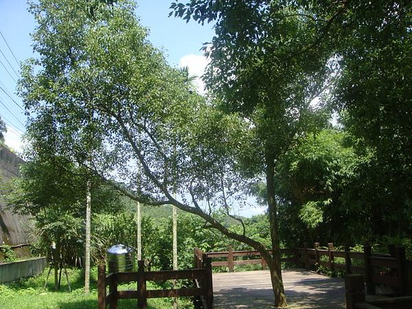 樟樹3.JPG