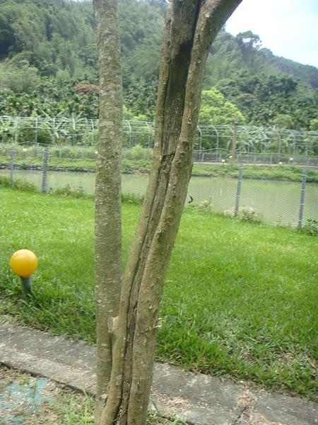光蠟樹10.JPG