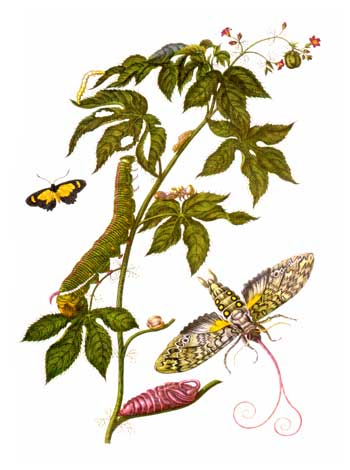 A plate taken from Metamorphosis insectorum Surinamensium