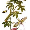 A plate taken from Metamorphosis insectorum Surinamensium