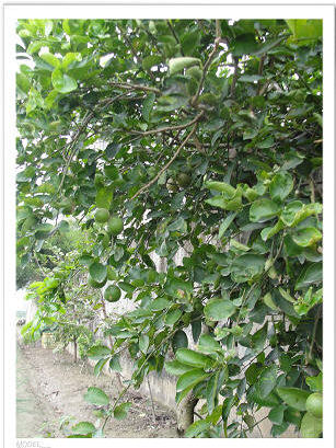 My lemon tree flowering