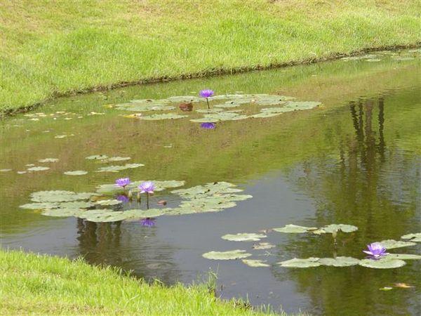 湖裡種滿蓮花