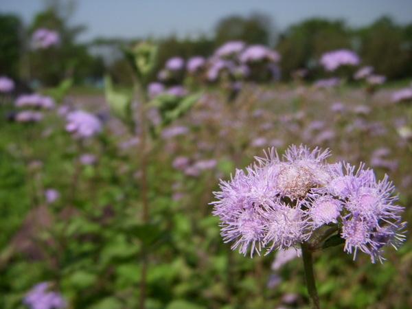 紫花霍香薊.JPG