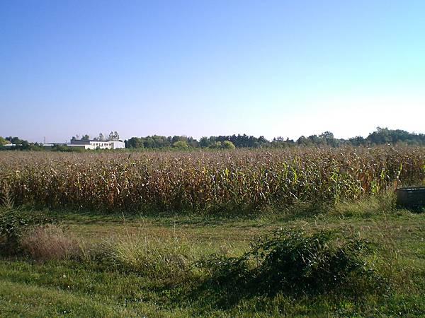 旁邊是玉米田,也可以採紫糯米說