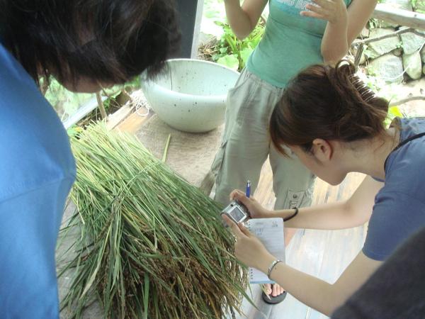 學生割的稻