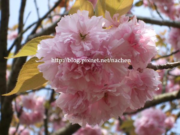 八重桜(やえさくら)