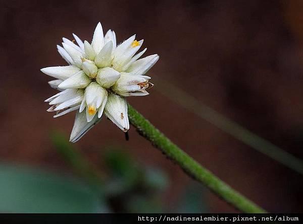神奇的植物 : 巴西人參-pfaffia(root patunalalddidpod)