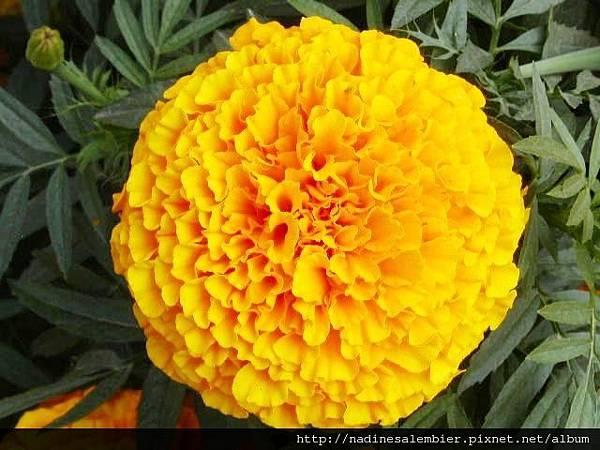 marigold_seed