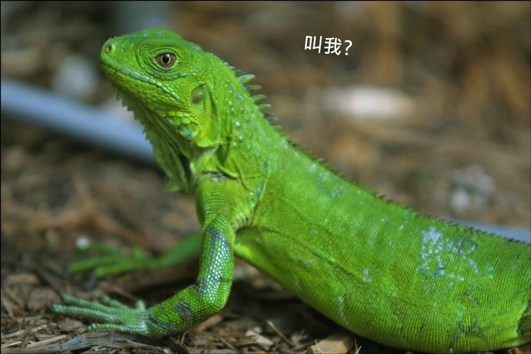 iguana-closeup-783182