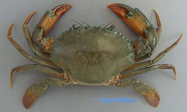 Orange mud crab.jpg