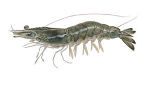 Whiteleg shrimp.jpg