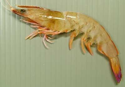 白鬚蝦.jpg