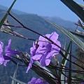 紫色翠盧莉